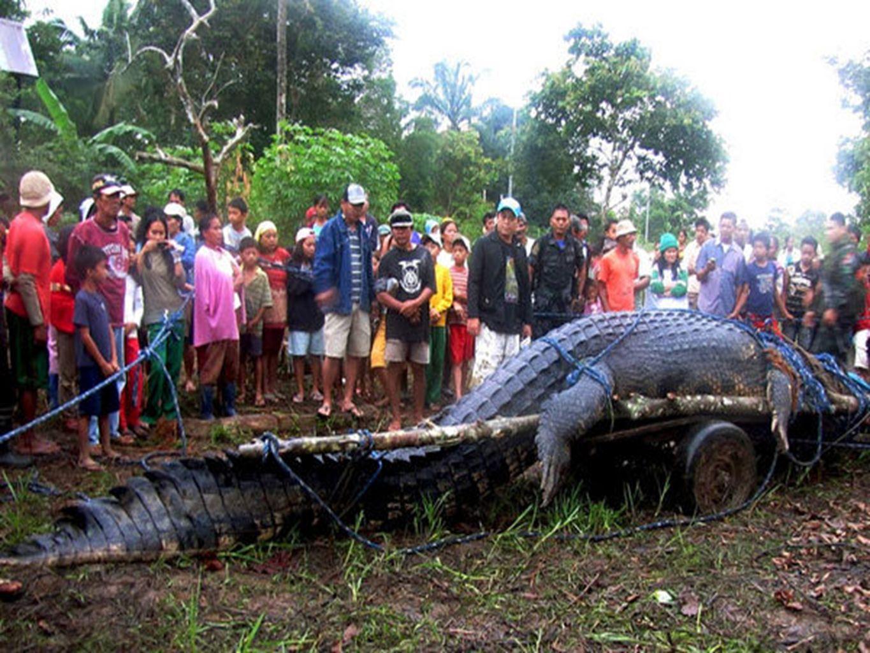 CROCODILE DEAU SALÉE Reconnu pour être le plus grand crocodile jamais capturé, ce mastodonte de 6,4 mètres a été capturé vivant après une chasse qui dura trois semaines.
