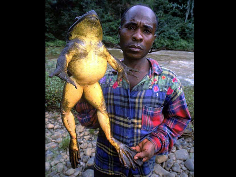 GRENOUILLE GOLIATH DAFRIQUE Localisée au Cameroun, elle peut vivre jusquà 15 ans et se nourrit de tout: les oiseaux, les serpents et même dautres grenouilles.