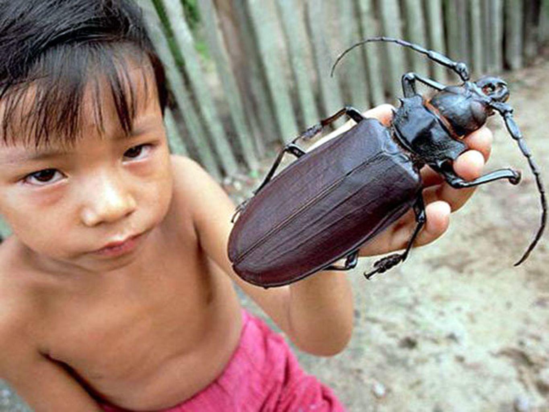 LE TITAN (TITANUS GIGANTEUS) Trouvé dans les jungles de lAmérique du Sud, le titan est un coléoptère et il est le deuxième plus grand après le scarabée hercule.