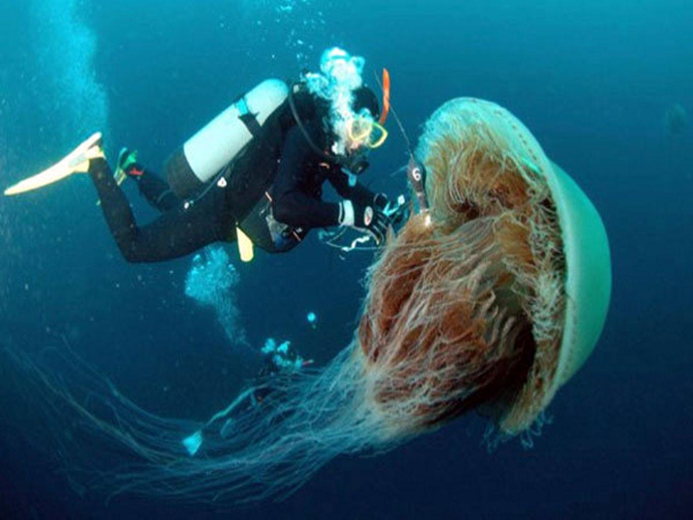 MÉDUSE DE NOMURA Trouvée dans les eaux au large du Japon, cette méduse peut peser jusquà plus de 200 kilos.
