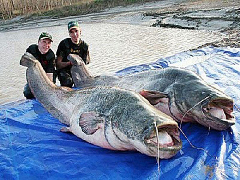 POISSONS-CHATS DU FLEUVE MÉKONG Trouvés dans les cours deau pollués de Chine, ces poissons- chats peuvent grandir jusquà 3 mètres et fournissent suffisamment de bâtonnets de poisson pour nourrir une cafétéria décole entière.