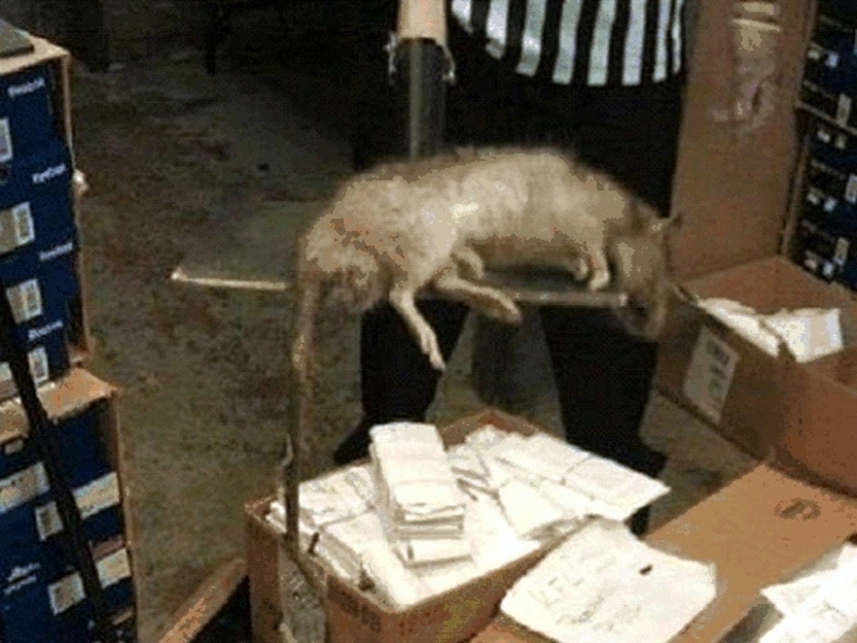 RAT ÉNORME Cet énorme rat fut tué dans un magasin «Foot Locker» en janvier 2012 dans le Bronx, New-York.