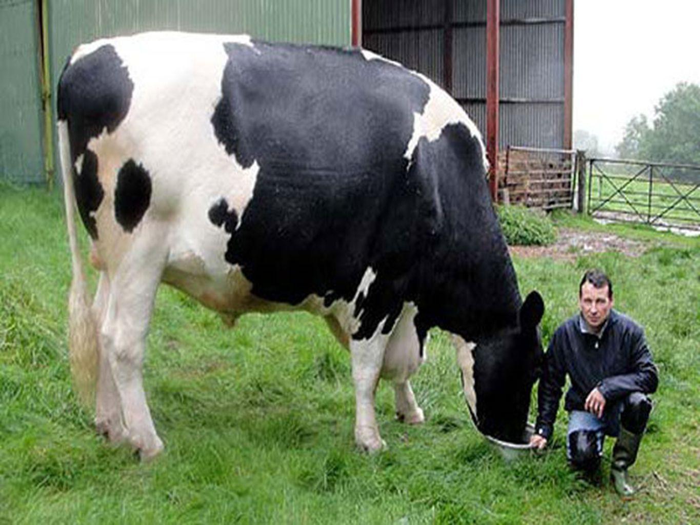SUIVEZ LE BOEUF .Ce bœuf,1,9 mètre de haut, long de 4,2 mètres pèse plus de 1000 kilos.