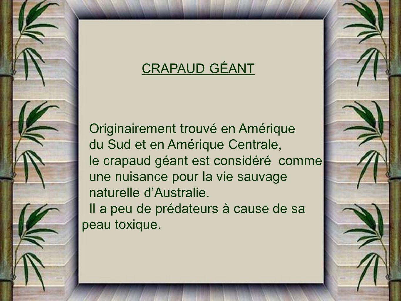 CRAPAUD GÉANT Originairement trouvé en Amérique du Sud et en Amérique Centrale, le crapaud géant est considéré comme une nuisance pour la vie sauvage naturelle dAustralie.