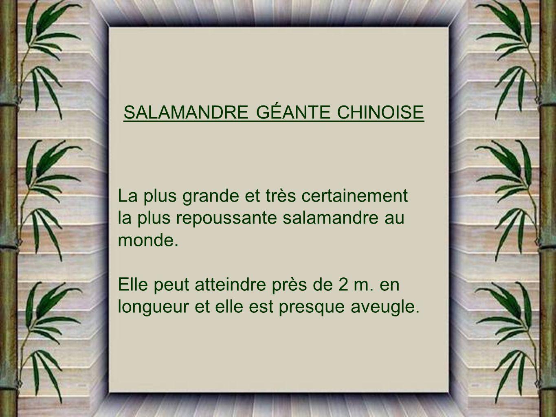 SALAMANDRE GÉANTE CHINOISE La plus grande et très certainement la plus repoussante salamandre au monde.