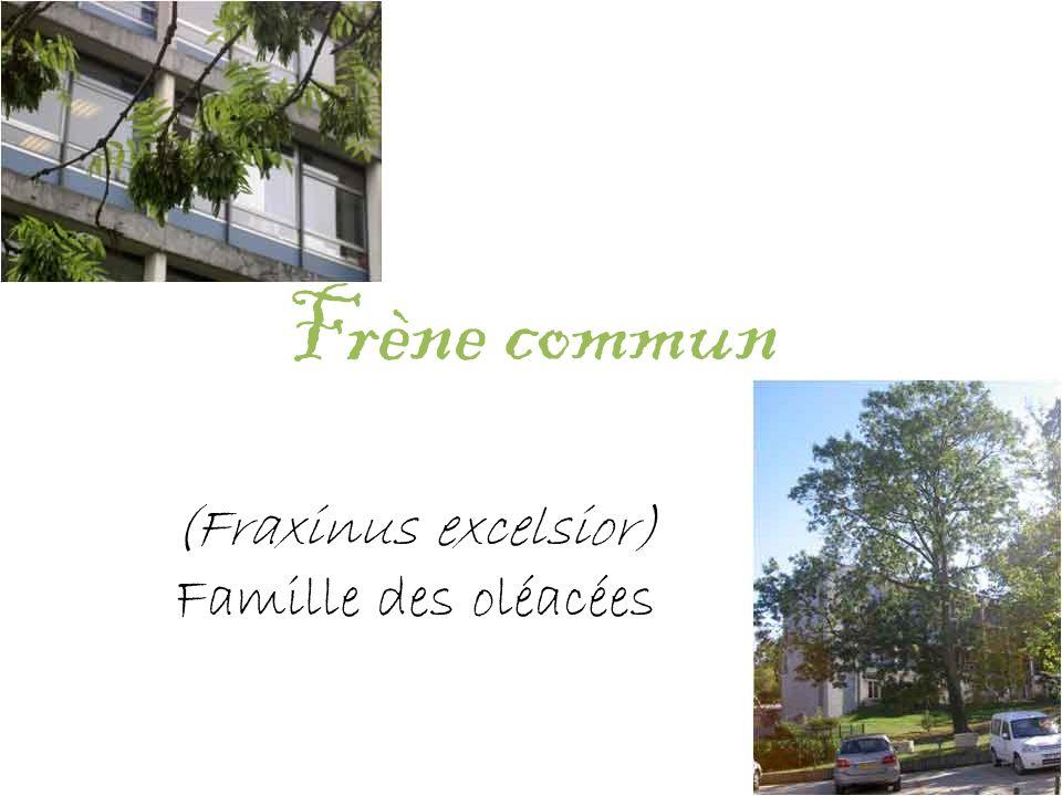 Frène commun (Fraxinus excelsior) Famille des oléacées