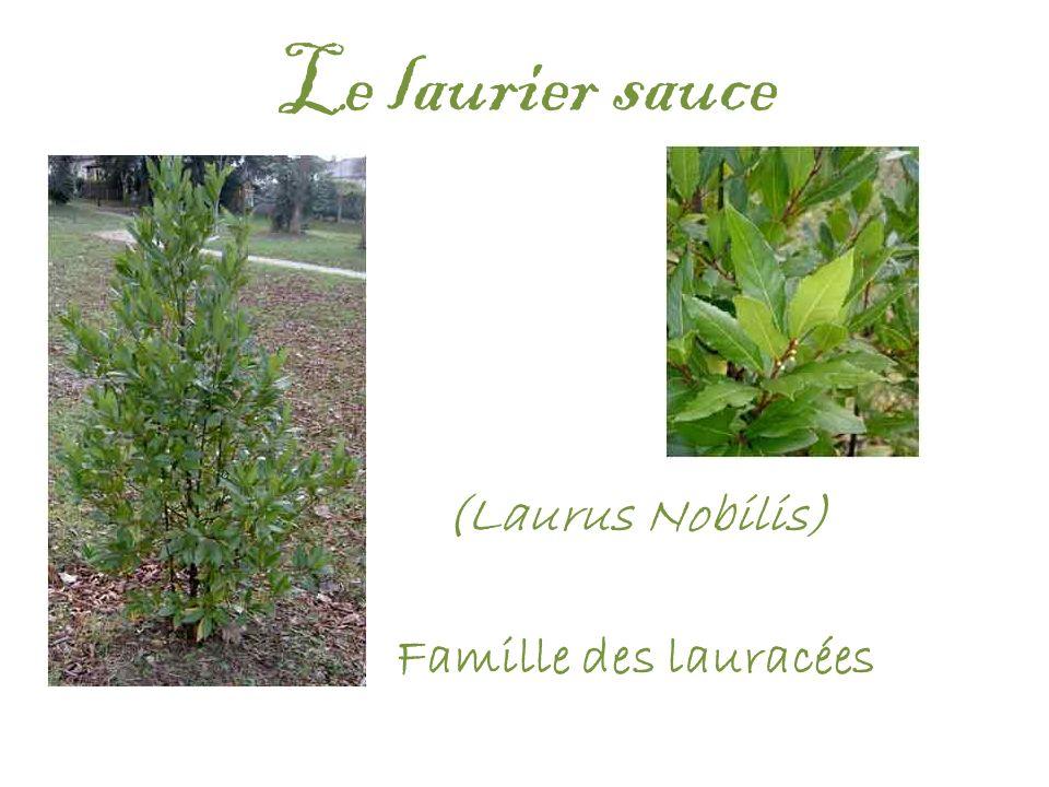 Le laurier sauce (Laurus Nobilis) Famille des lauracées