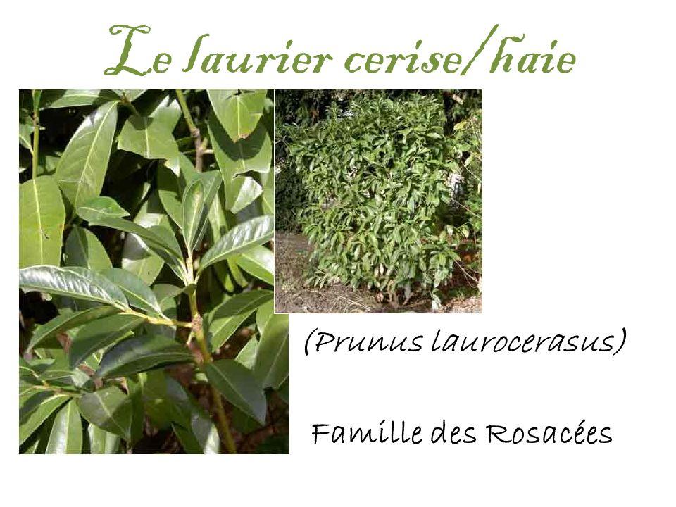 Le laurier cerise/haie (Prunus laurocerasus) Famille des Rosacées