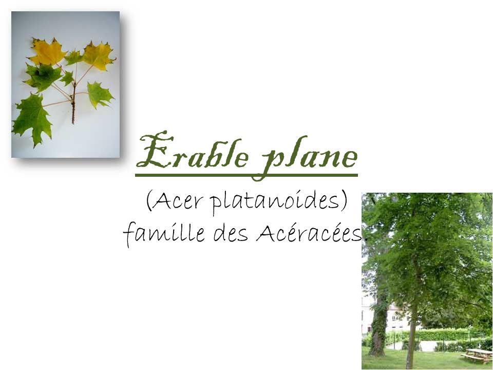 Erable plane (Acer platanoides) famille des Acéracées.