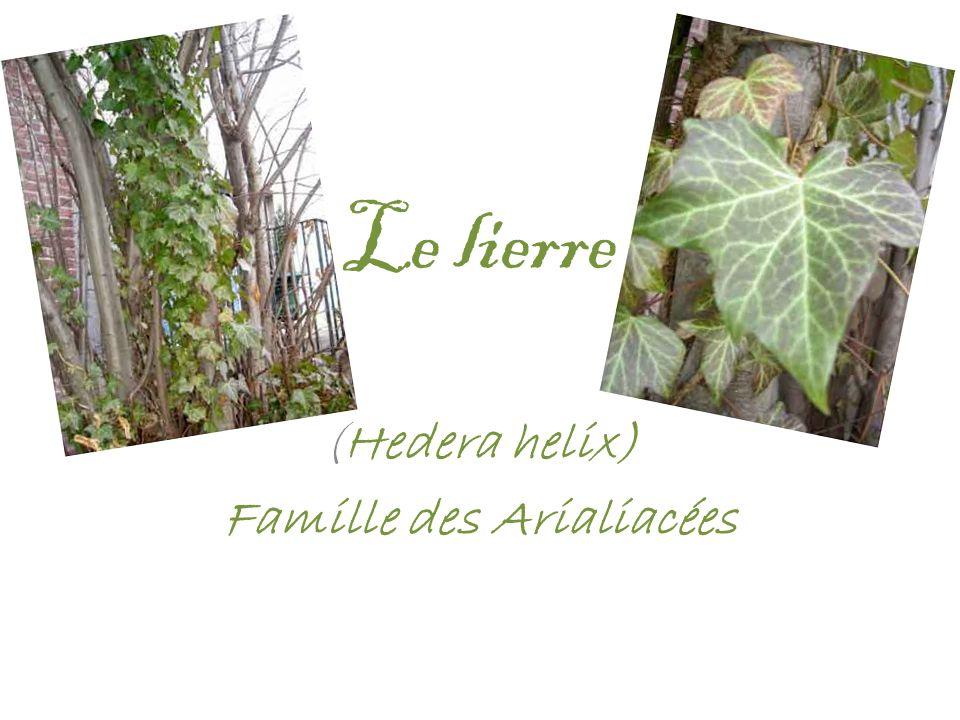 Le lierre (Hedera helix) Famille des Arialiacées