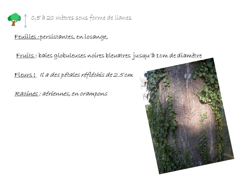 0,5 à 20 mètres sous forme de lianes Feuilles : persistantes, en losange, Fruits : baies globuleuses noires bleuatres jusquà 1cm de diamètre Fleurs :