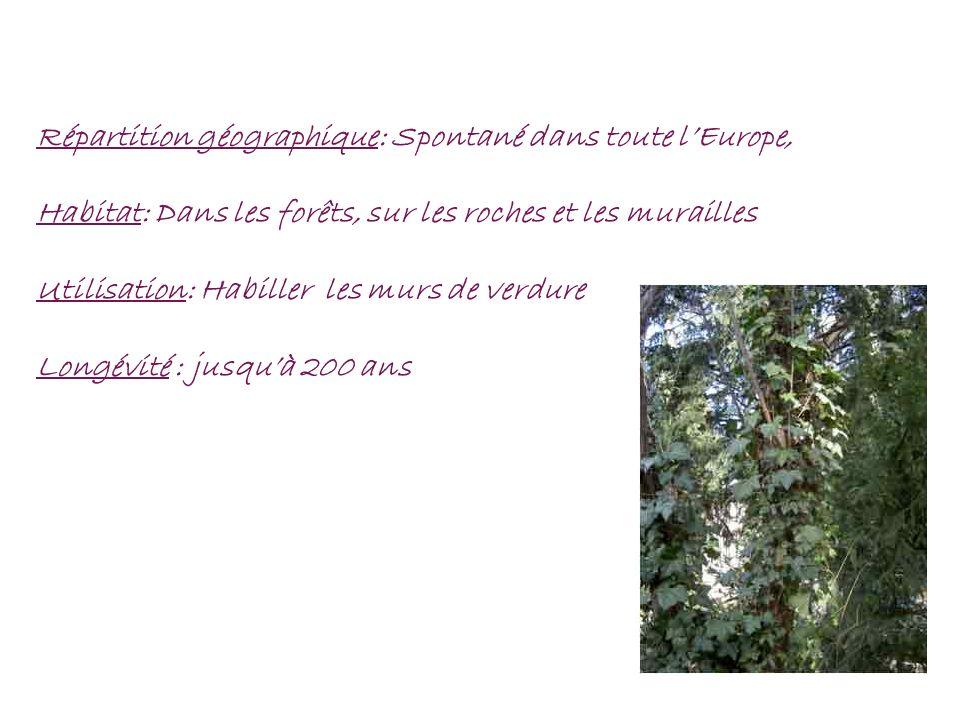 Répartition géographique: Spontané dans toute lEurope, Habitat: Dans les forêts, sur les roches et les murailles Utilisation: Habiller les murs de ver