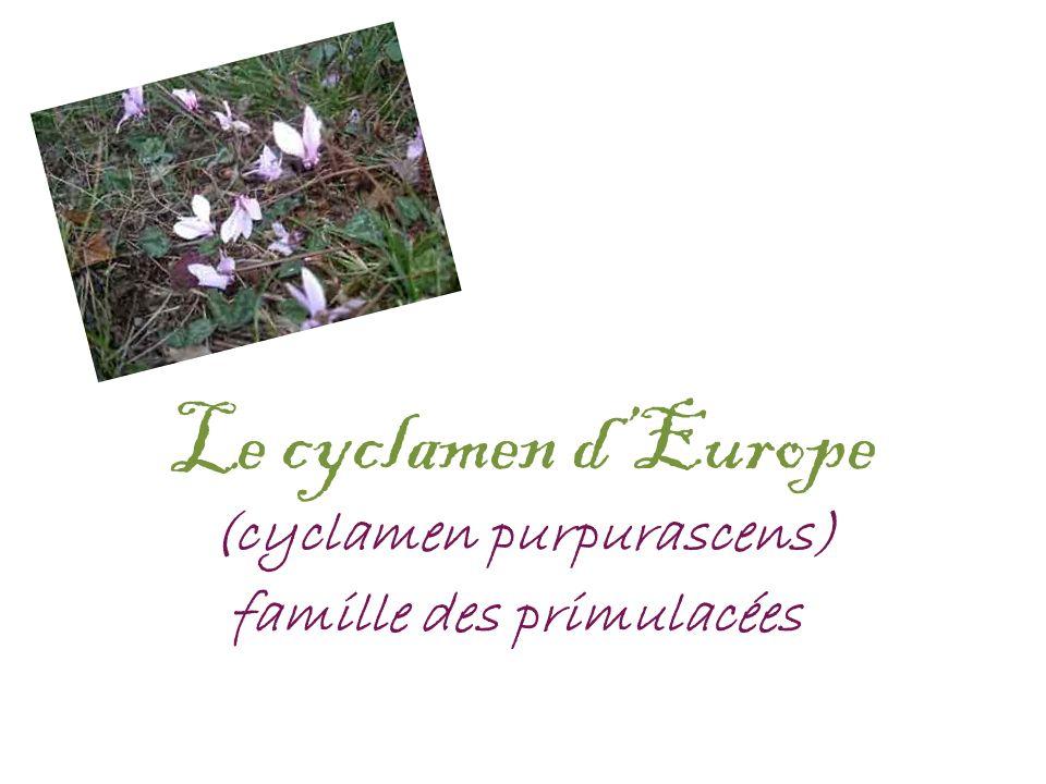 Le cyclamen dEurope (cyclamen purpurascens) famille des primulacées