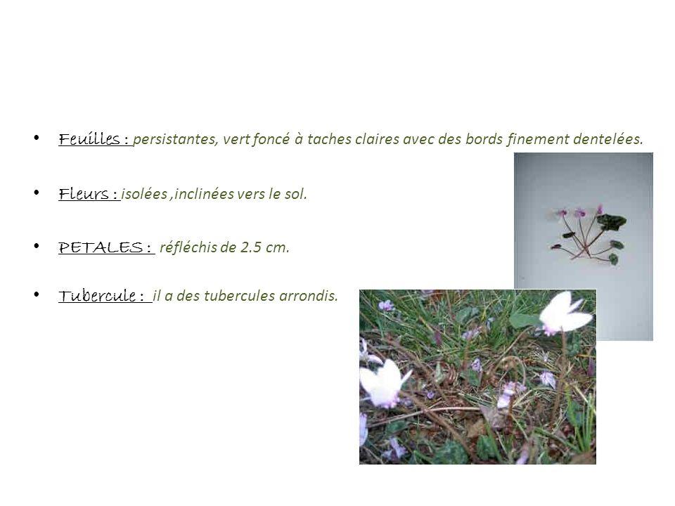 Feuilles : persistantes, vert foncé à taches claires avec des bords finement dentelées. Fleurs : isolées,inclinées vers le sol. PETALES : réfléchis de