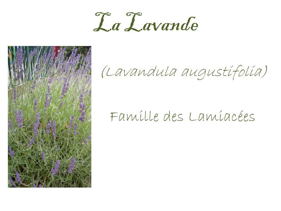 La Lavande (Lavandula augustifolia) Famille des Lamiacées