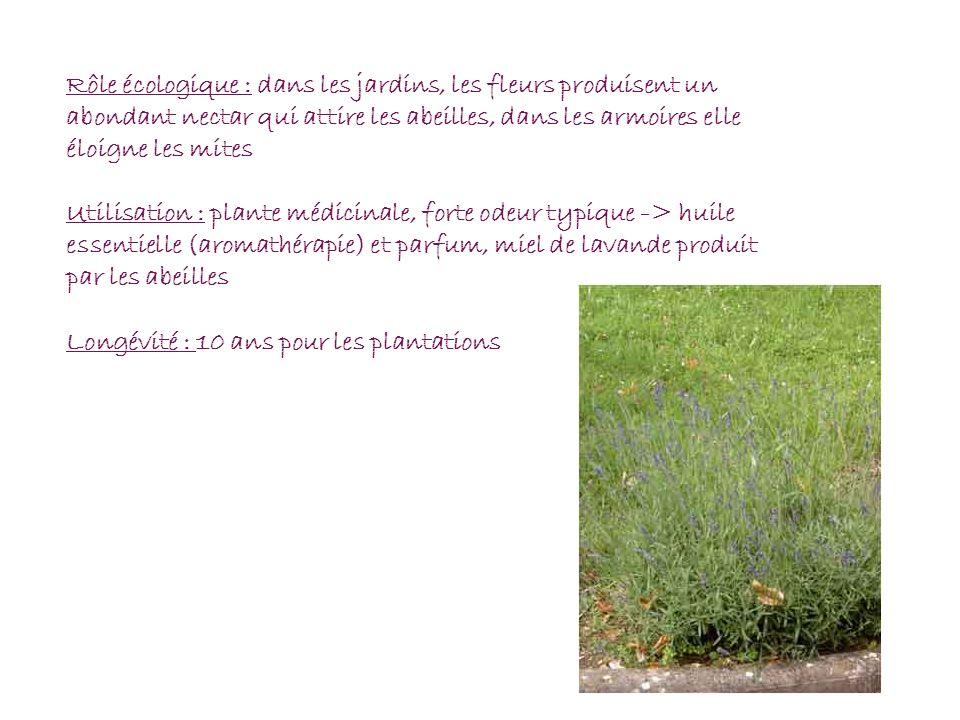 Rôle écologique : dans les jardins, les fleurs produisent un abondant nectar qui attire les abeilles, dans les armoires elle éloigne les mites Utilisa