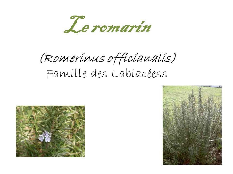 Le romarin (Romerinus officianalis) Famille des Labiacéess