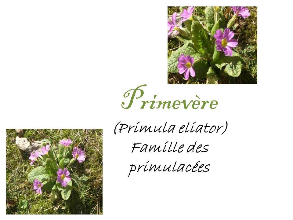 Primevère (Primula eliator) Famille des primulacées