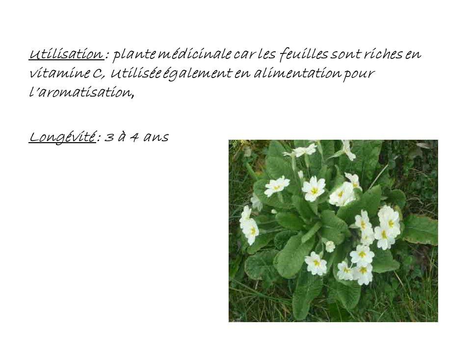 Utilisation : plante médicinale car les feuilles sont riches en vitamine C, Utilisée également en alimentation pour laromatisation, Longévité : 3 à 4
