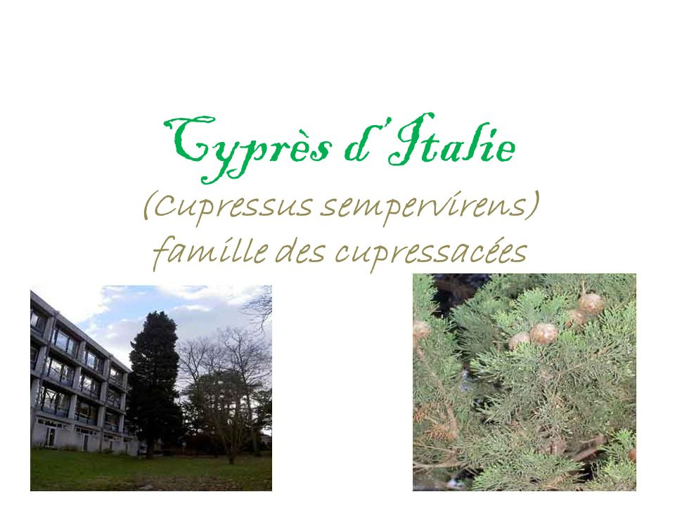 Cyprès dItalie (Cupressus sempervirens) famille des cupressacées