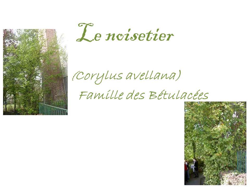 Le noisetier ( Corylus avellana) Famille des Bétulacées