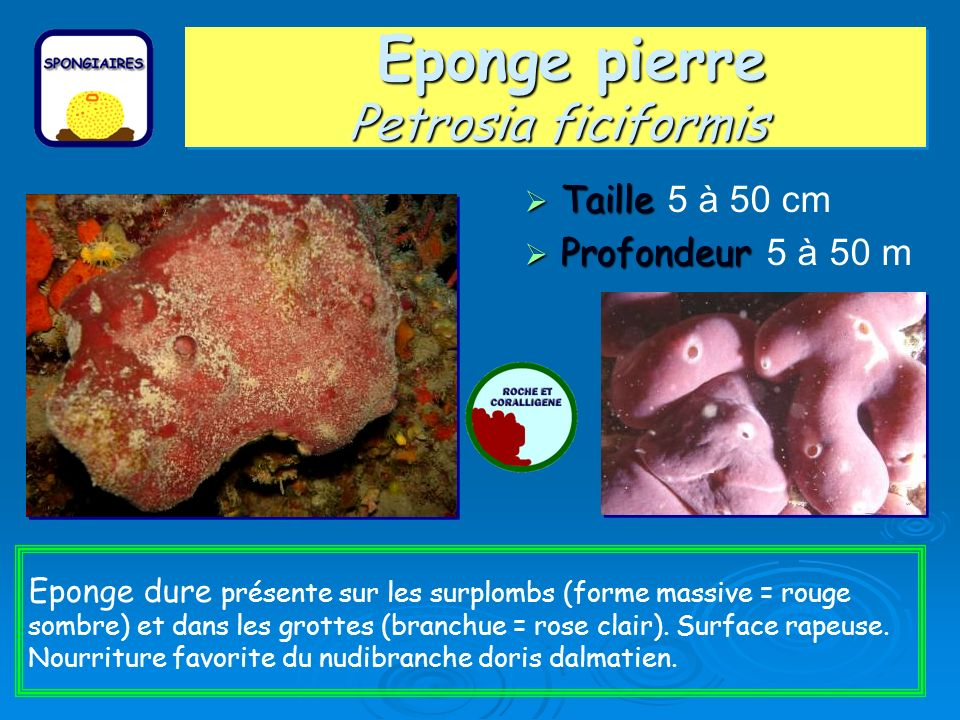 Eponge pierre Petrosia ficiformis Taille Taille 5 à 50 cm Profondeur Profondeur 5 à 50 m Eponge dure présente sur les surplombs (forme massive = rouge sombre) et dans les grottes (branchue = rose clair).