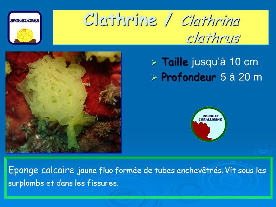 Clathrine / Clathrina clathrus Taille Taille jusquà 10 cm Profondeur Profondeur 5 à 20 m Eponge calcaire jaune fluo formée de tubes enchevêtrés.