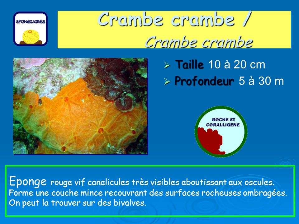 Crambe crambe / Crambe crambe Taille Taille 10 à 20 cm Profondeur Profondeur 5 à 30 m Eponge rouge vif canalicules très visibles aboutissant aux oscules.