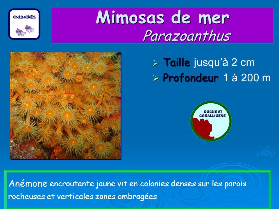 Mimosas de mer Parazoanthus Taille Taille jusquà 2 cm Profondeur Profondeur 1 à 200 m Anémone encroutante jaune vit en colonies denses sur les parois rocheuses et verticales zones ombragées