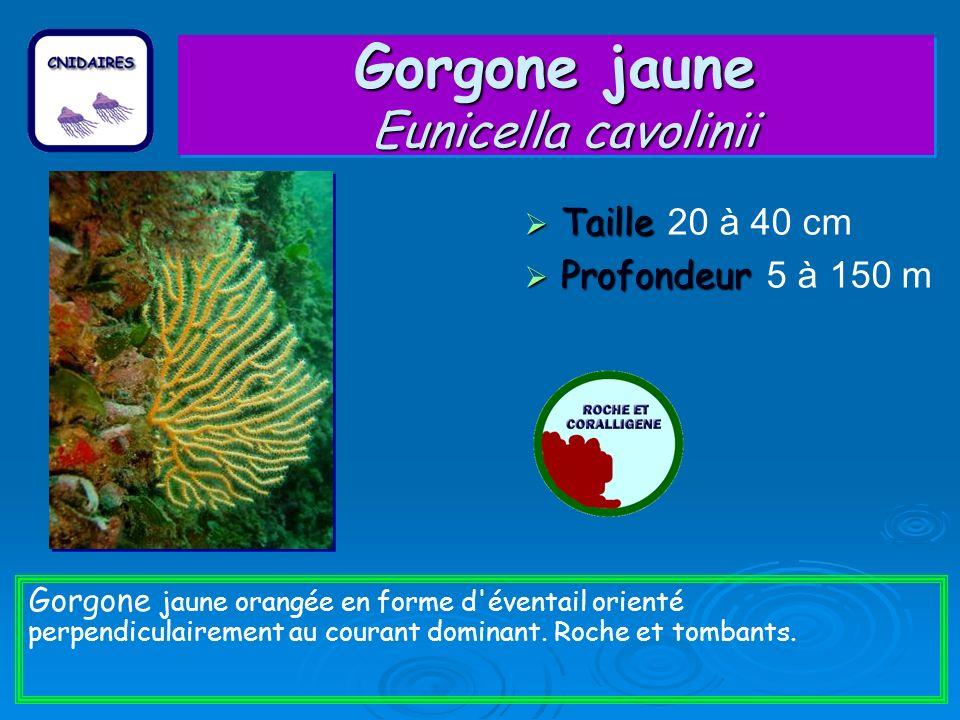 Gorgone jaune Eunicella cavolinii Taille Taille 20 à 40 cm Profondeur Profondeur 5 à 150 m Gorgone jaune orangée en forme d éventail orienté perpendiculairement au courant dominant.