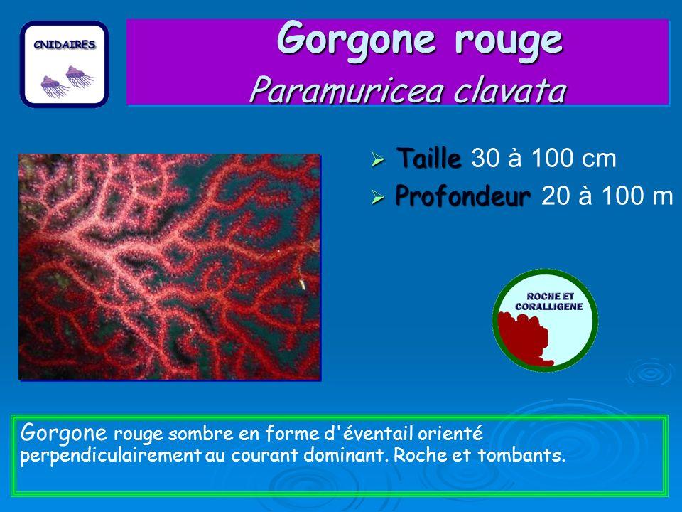 Gorgone rouge Paramuricea clavata Taille Taille 30 à 100 cm Profondeur Profondeur 20 à 100 m Gorgone rouge sombre en forme d éventail orienté perpendiculairement au courant dominant.