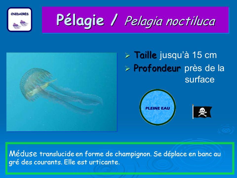 Pélagie / Pelagia noctiluca Taille Taille jusquà 15 cm Profondeur Profondeur près de la surface Méduse translucide en forme de champignon.