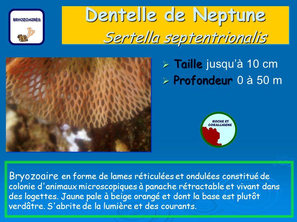 Dentelle de Neptune Sertella septentrionalis Taille Taille jusquà 10 cm Profondeur Profondeur 0 à 50 m Bryozoaire en forme de lames réticulées et ondulées constitué de colonie d animaux microscopiques à panache rétractable et vivant dans des logettes.