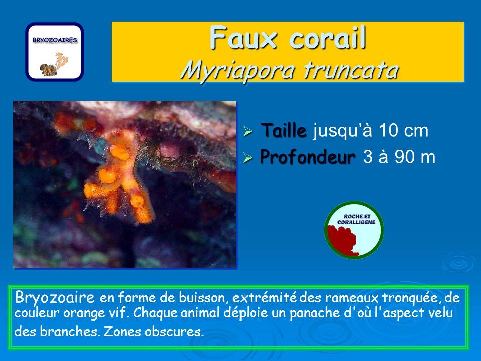 Faux corail Myriapora truncata Taille Taille jusquà 10 cm Profondeur Profondeur 3 à 90 m Bryozoaire en forme de buisson, extrémité des rameaux tronquée, de couleur orange vif.