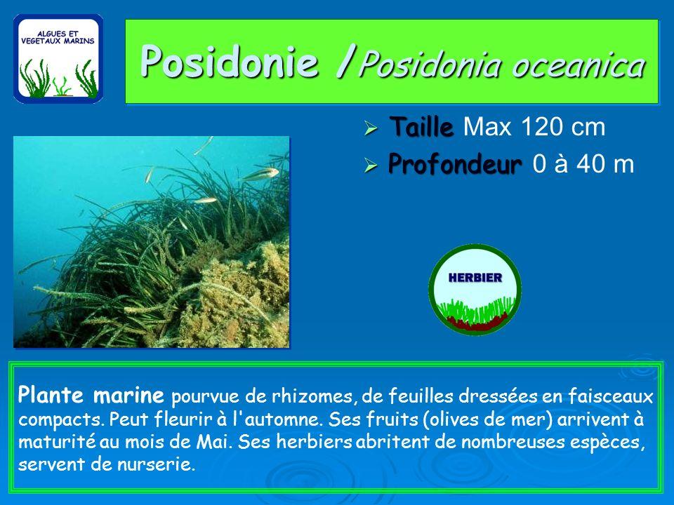 Posidonie / Posidonia oceanica Taille Taille Max 120 cm Profondeur Profondeur 0 à 40 m Plante marine pourvue de rhizomes, de feuilles dressées en faisceaux compacts.