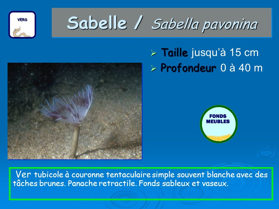 Sabelle / Sabella pavonina Taille Taille jusquà 15 cm Profondeur Profondeur 0 à 40 m Ver tubicole à couronne tentaculaire simple souvent blanche avec des tâches brunes.