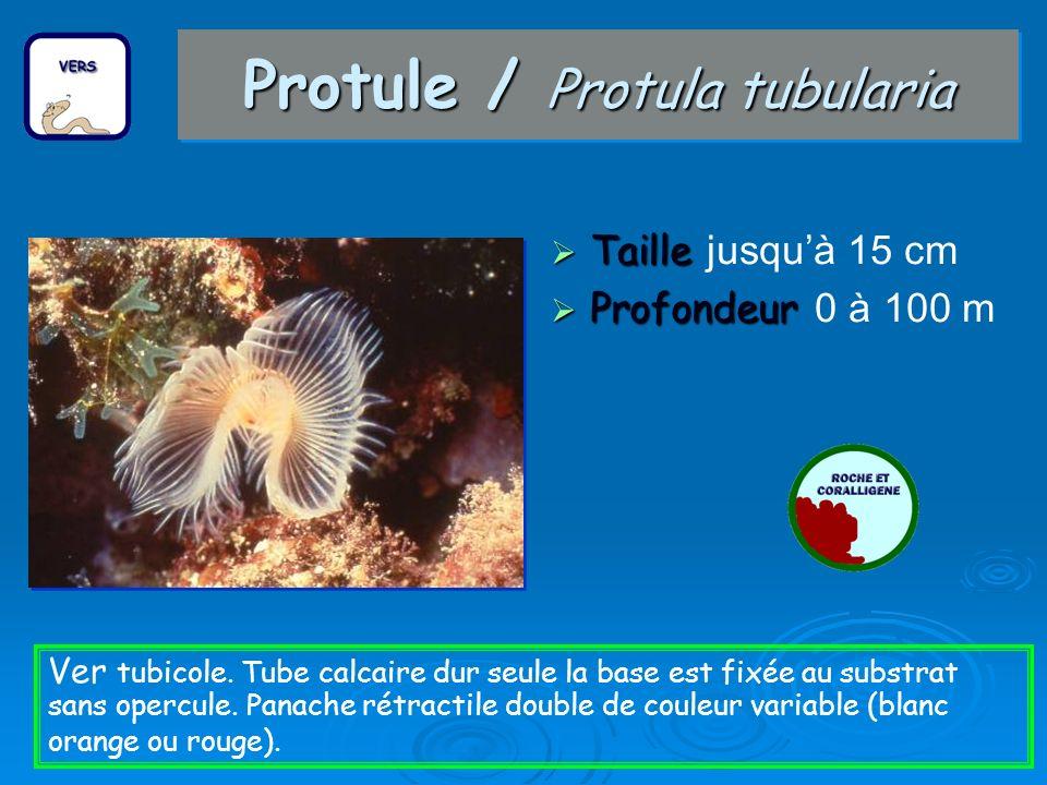 Sabelle / Sabella pavonina Taille Taille jusquà 15 cm Profondeur Profondeur 0 à 40 m Ver tubicole à couronne tentaculaire simple souvent blanche avec