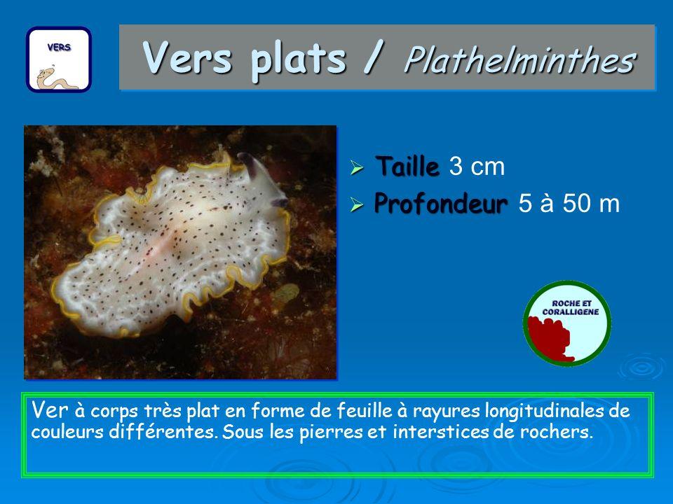 Vers plats / Plathelminthes Taille Taille 3 cm Profondeur Profondeur 5 à 50 m Ver à corps très plat en forme de feuille à rayures longitudinales de couleurs différentes.