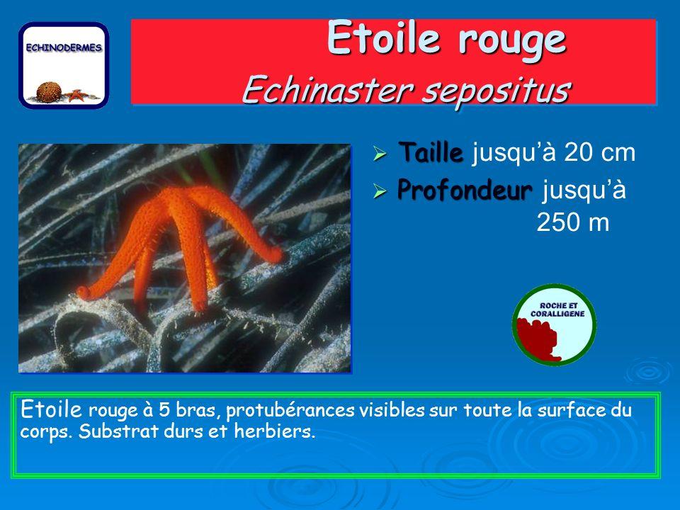 Etoile rouge Echinaster sepositus Taille Taille jusquà 20 cm Profondeur Profondeur jusquà 250 m Etoile rouge à 5 bras, protubérances visibles sur toute la surface du corps.