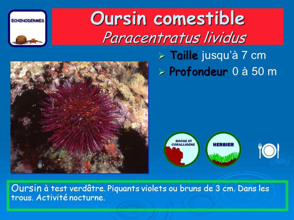 Oursin comestible Paracentratus lividus Taille Taille jusquà 7 cm Profondeur Profondeur 0 à 50 m Oursin à test verdâtre.