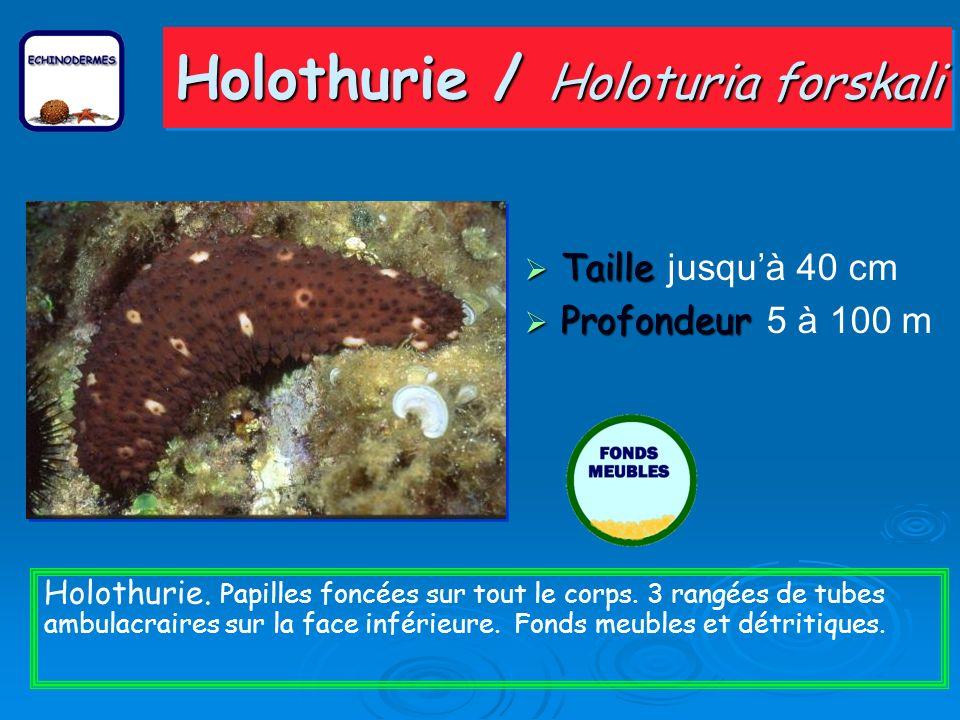 Holothurie / Holoturia forskali Taille Taille jusquà 40 cm Profondeur Profondeur 5 à 100 m Holothurie.