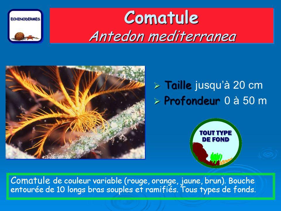 Comatule Antedon mediterranea Taille Taille jusquà 20 cm Profondeur Profondeur 0 à 50 m Comatule de couleur variable (rouge, orange, jaune, brun).