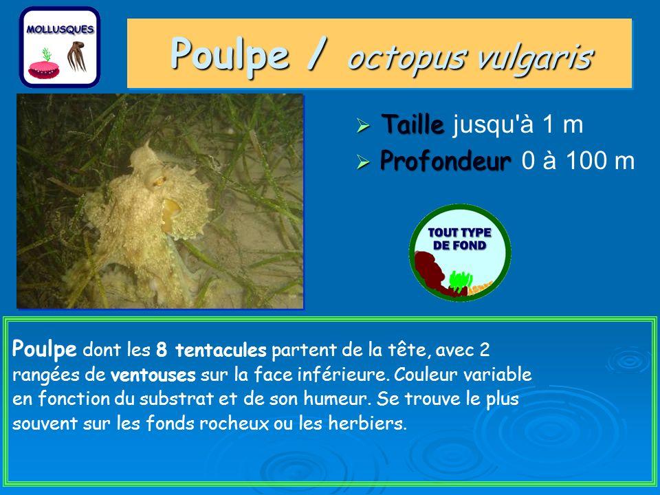 Poulpe / octopus vulgaris Taille Taille jusqu à 1 m Profondeur Profondeur 0 à 100 m Poulpe dont les 8 tentacules partent de la tête, avec 2 rangées de ventouses sur la face inférieure.