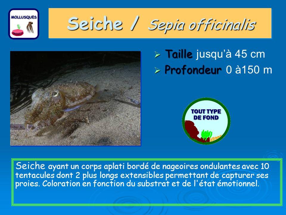 Seiche / Sepia officinalis Taille Taille jusquà 45 cm Profondeur Profondeur 0 à150 m Seiche ayant un corps aplati bordé de nageoires ondulantes avec 10 tentacules dont 2 plus longs extensibles permettant de capturer ses proies.