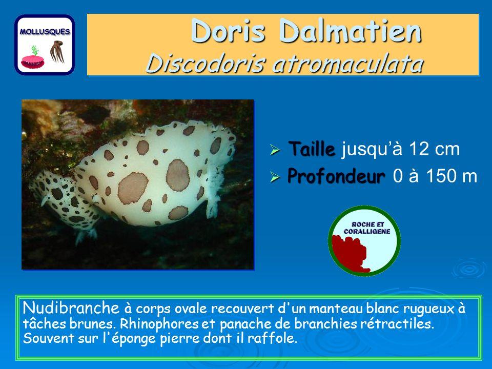 Doris Dalmatien Discodoris atromaculata Taille Taille jusquà 12 cm Profondeur Profondeur 0 à 150 m Nudibranche à corps ovale recouvert d un manteau blanc rugueux à tâches brunes.