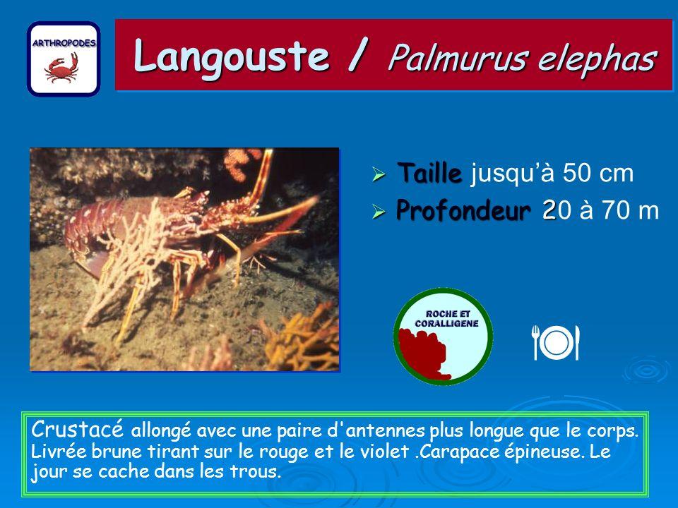Langouste / Palmurus elephas Taille Taille jusquà 50 cm Profondeur 2 Profondeur 2 0 à 70 m Crustacé allongé avec une paire d antennes plus longue que le corps.