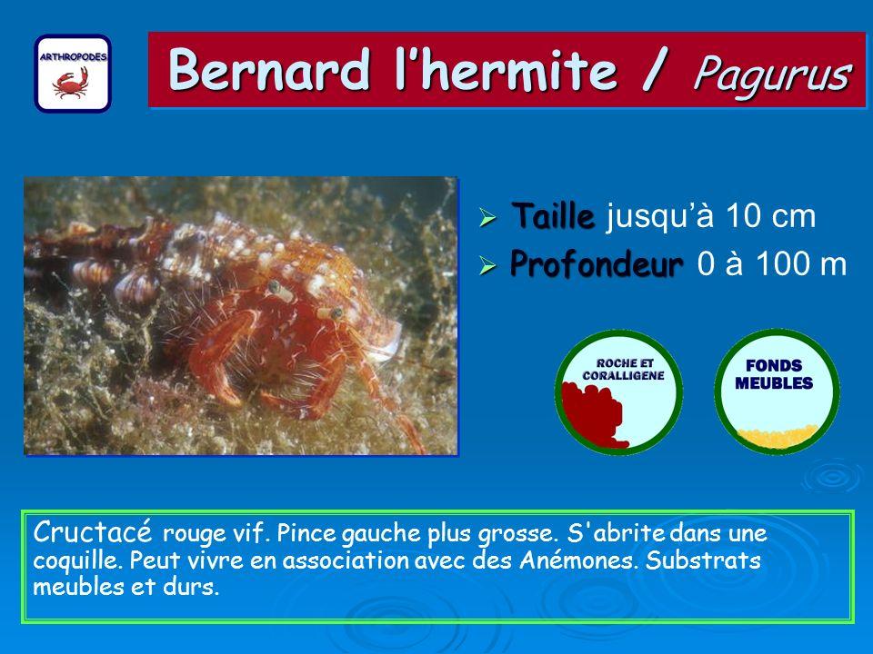 Bernard lhermite / Pagurus Taille Taille jusquà 10 cm Profondeur Profondeur 0 à 100 m Cructacé rouge vif.