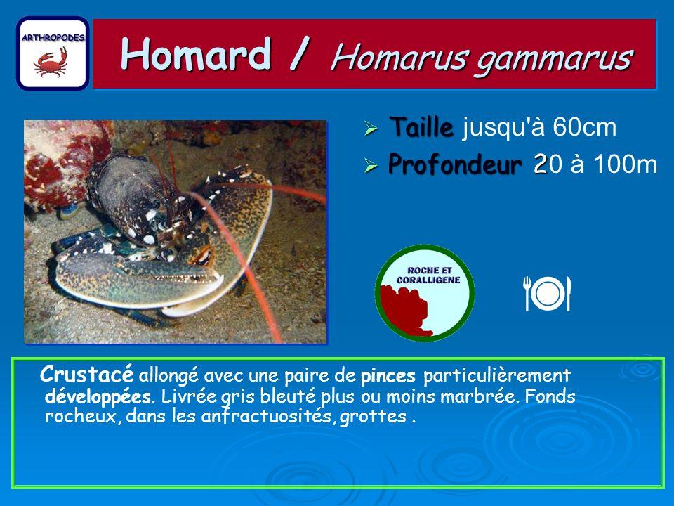 Homard / Homarus gammarus Taille Taille jusqu à 60cm Profondeur 2 Profondeur 2 0 à 100m Crustacé allongé avec une paire de pinces particulièrement développées.