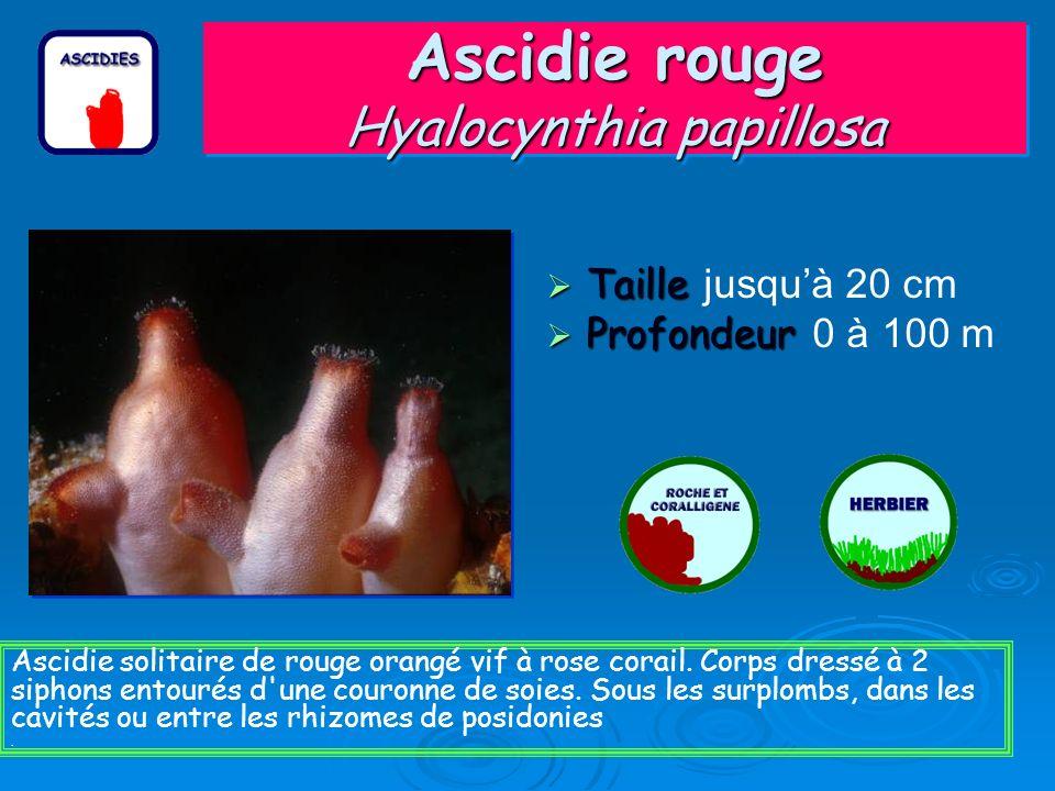 Ascidie rouge Hyalocynthia papillosa Taille Taille jusquà 20 cm Profondeur Profondeur 0 à 100 m Ascidie solitaire de rouge orangé vif à rose corail.