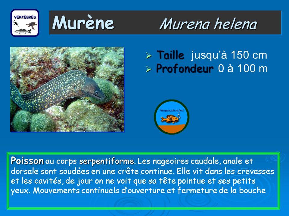 Murène Murena helena Taille Taille jusquà 150 cm Profondeur Profondeur 0 à 100 m Poisson serpentiforme Poisson au corps serpentiforme.